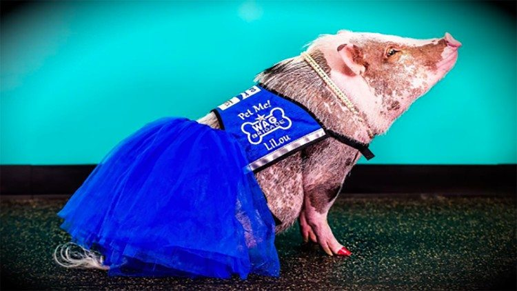 ou the therapy pig (Instagram/lilou_sfpig)